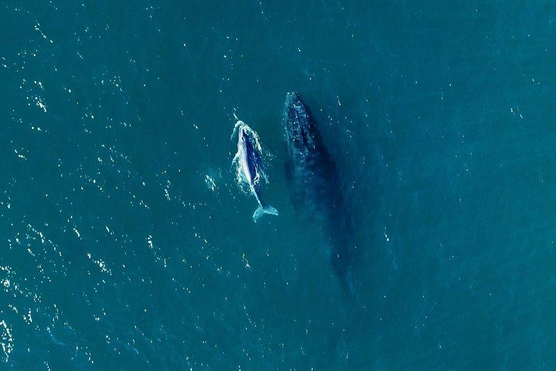 Início da temporada das baleias no litoral brasileiro: projetos patrocinados pela Petrobras intensificam pesquisas